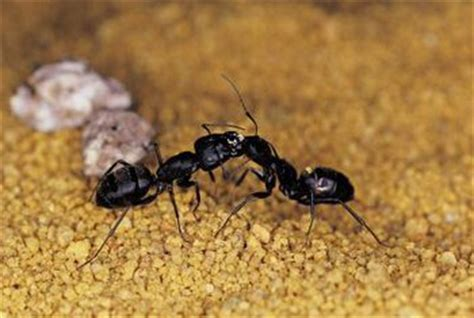 how can i my not to bite how to kill carpenter ants that are attacking an oak tree