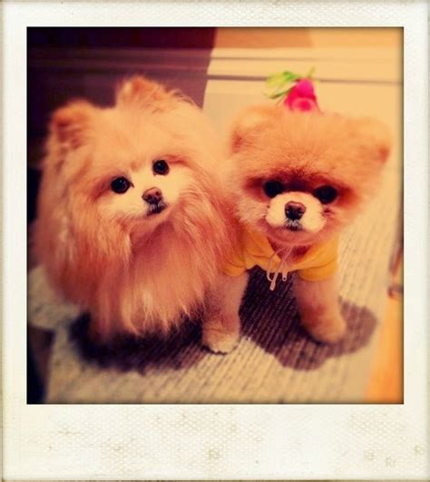 buddy the pomeranian 33 best images about boo on puppys and crocs