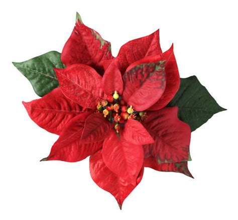 clear poinsetta holiday flower xmas lights ten things to about a flower favorite home and garden thesouthern