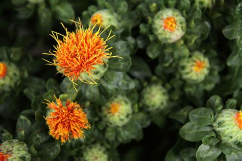 safflower free stock photo public domain pictures