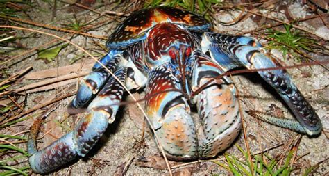 coconut crab coconut crab pinches like a lion eats like a dumpster
