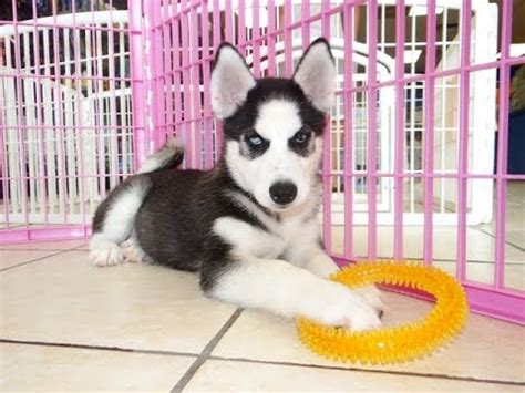 puppies for sale oklahoma 6 pomsky puppies for sale in oklahoma in biological science picture