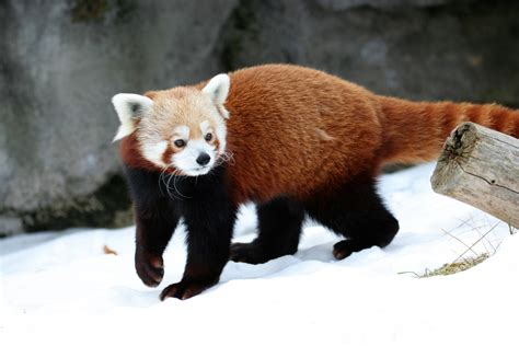 read panda mahalo