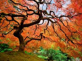japanese maple in portland oregon national geographic travel daily photo