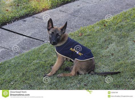 german shepherd puppy editorial stock photo