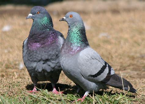 columbidae pigeons columba livia doves