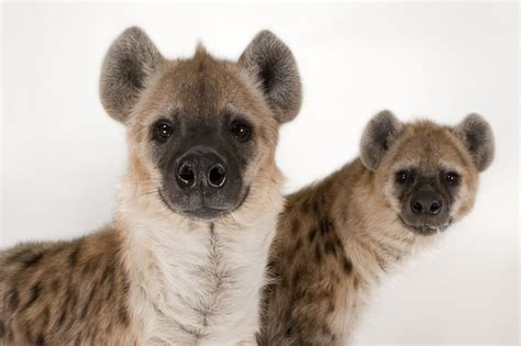 hyena cat or hyena cat or 2018 cats