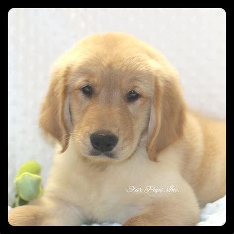 golden retriever store golden retriever m golden sold pups