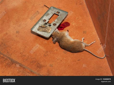 mouse benching mouse trap dead mouse caught traps on kitchen image photo bigstock