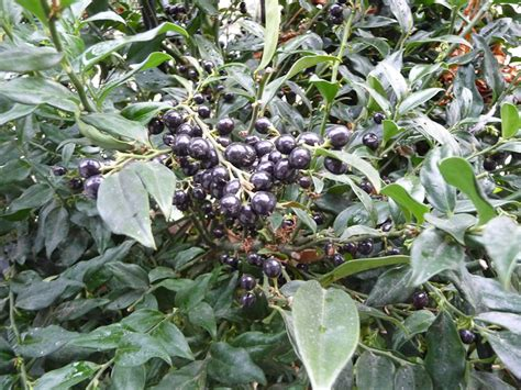 Arbuste Baies Noires by Baies Noires C 244 T 233 Jardin