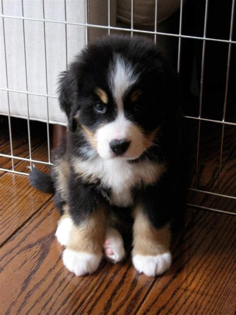 bernese puppies bernese mountain puppies