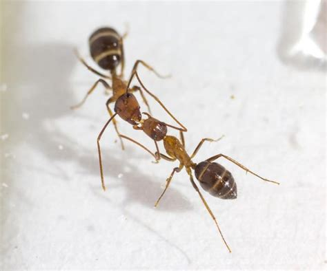 carpenter ants in bathroom ants communicate cast ballots with a kiss mnn