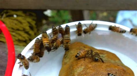 honey bees and sugar water youtube
