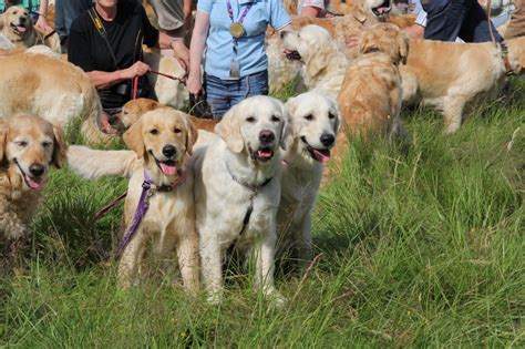 golden retriever puppies scotland 222 golden retrievers frolic in a field in scotland