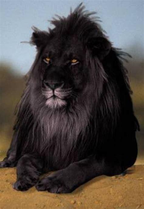 imagenes de leones blanco y negro leon negro falso