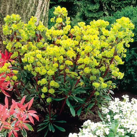 Flower Pot by Euphorbia Amygdaloides Purpurea