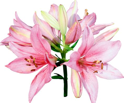 imagenes sin fondo balnco pictures lilies flowers 1920x1600