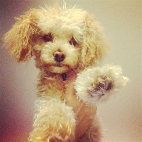 poodle haircuts images 1000 ideas about poodle haircut on pinterest poodles