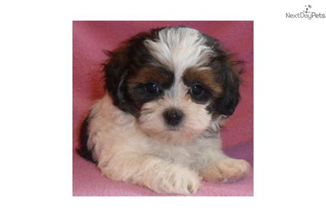 shih poo puppies for sale ohio shih tzu poo puppies for sale in ohio breeds picture
