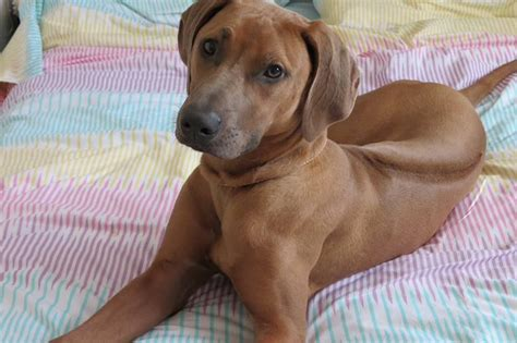 registered rhodesian ridgeback puppies for sale rhodesian ridgeback puppies for sale burnley lancashire pets4homes