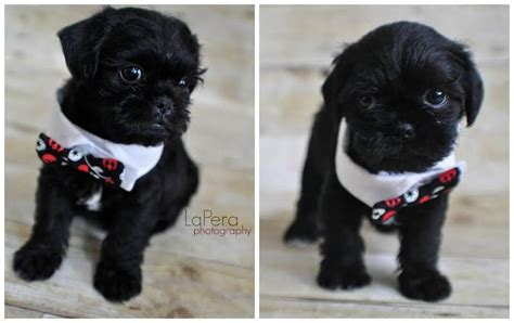 shih tzu cross breeds chihuahua puggle mix breeds picture