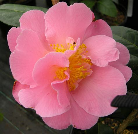 Camelia Pink camellia pink icicle carolyn s shade gardens