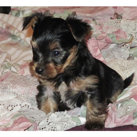 teacup yorkie puppies for sale uk terrier puppies for sale uk memes
