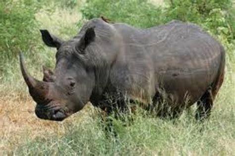 black rhino 10 interesting black rhinos facts my interesting facts