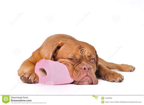 puppy toilet paper puppy with toilet paper royalty free stock images image 14235829