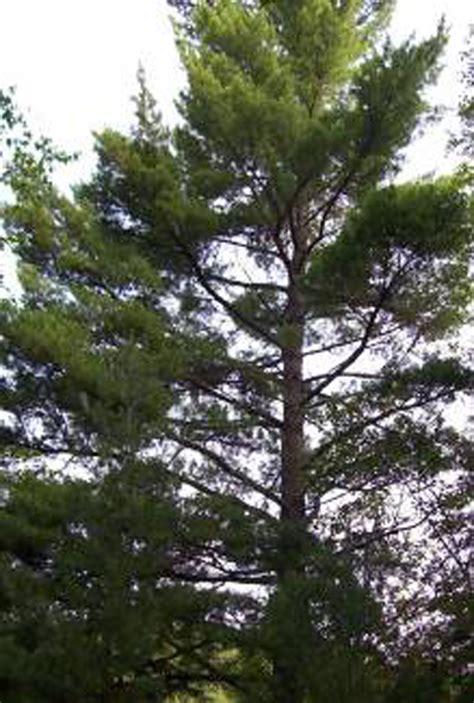 michigan tree michigan mi state tree list of 50 state trees of the