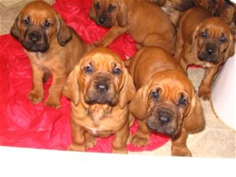 bloodhound puppies for sale in tn bloodhound puppies for sale