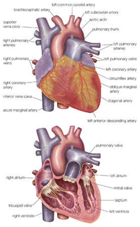 heart cross section diagram cross section diagram of the heart image search results