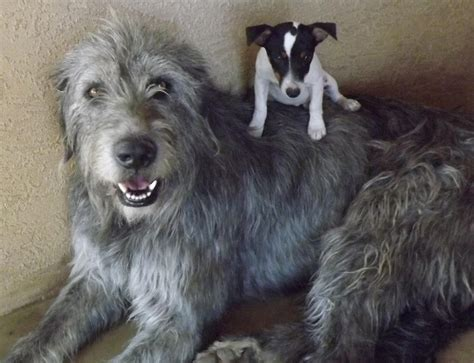 wolfhound puppy welcome to hunt farms wolfhounds hunt farms wolfhound breeder in