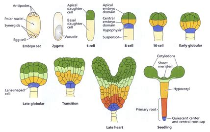 pattern formation in embryogenesis plant physiology digit 225 lis tank 246 nyvt 225 r