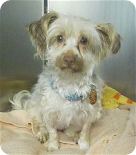 yorkie adoption nj oak ridge nj yorkie terrier silky terrier mix meet hula a for adoption