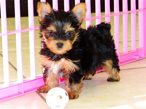 yorkies for sale ga terrier yorkie puppies dogs for sale in atlanta ga