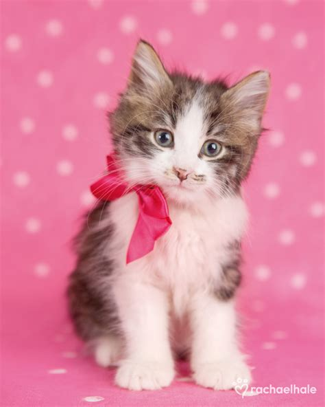 cute manx kitten   pictures
