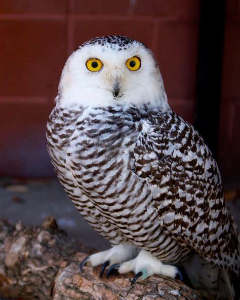 amazoncom snowy owl snowy owl connecticut s beardsley zoo