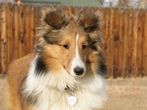 sheltie dogs sheltie breed named soleil wallpapers and images wallpapers pictures photos