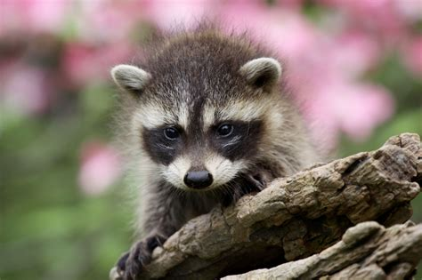 raccoon and raccoons and city living 183 a humane nation