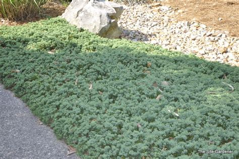 Juniper Blue Rug by Juniperus Horizontalis Blue Rug The Site Gardener