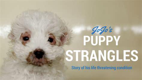 puppy strangles treatment puppy strangles juvenile cellulitis jojo s story dr belinda the vet