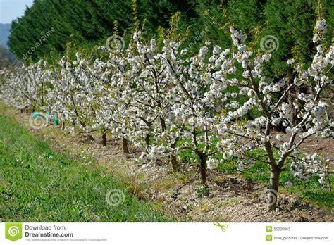 foto di ci fioriti alberi da frutto fioriti fotografia stock immagine 55020863