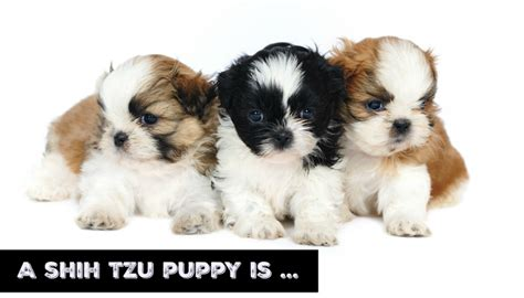 my shih tzu puppy a shih tzu puppy is on the way