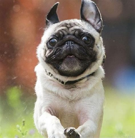 running pugs running pug animals being animals