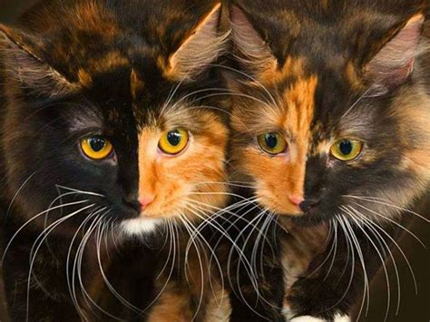 twin cats twin chimera cats kitty cats pinterest