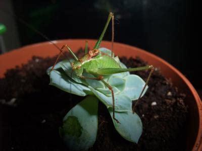 caring  pet grasshoppers thriftyfun