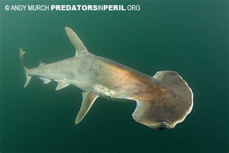 panama scoophead shark expedition