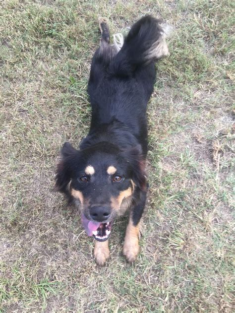 corgi rottweiler 17 best images about corgi weilers on disorders rottweiler mix and barking
