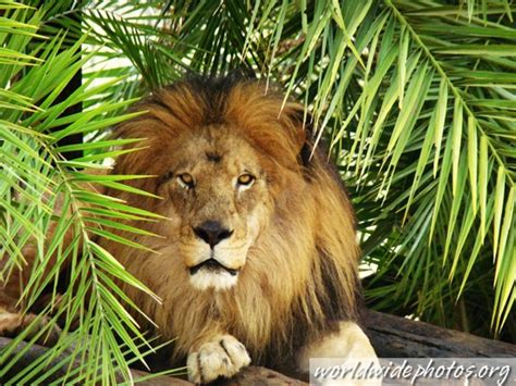 imagenes de animales salvajes image gallery leon animal salvaje